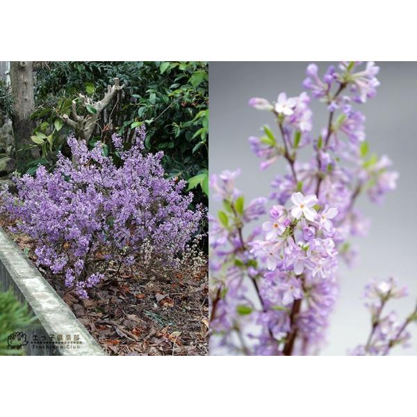 長寿桜 ( チョウジュザクラ ) 4号鉢植え(花芽付き) produce87 04