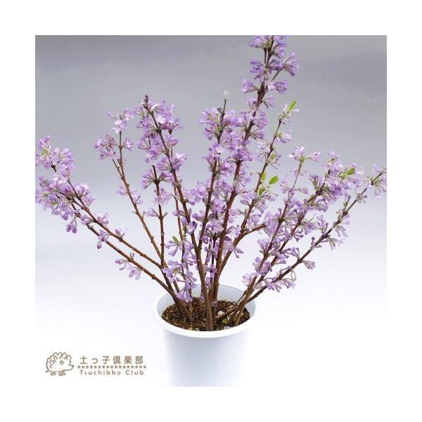 長寿桜 ( チョウジュザクラ ) 4号鉢植え(花芽付き) produce87 05