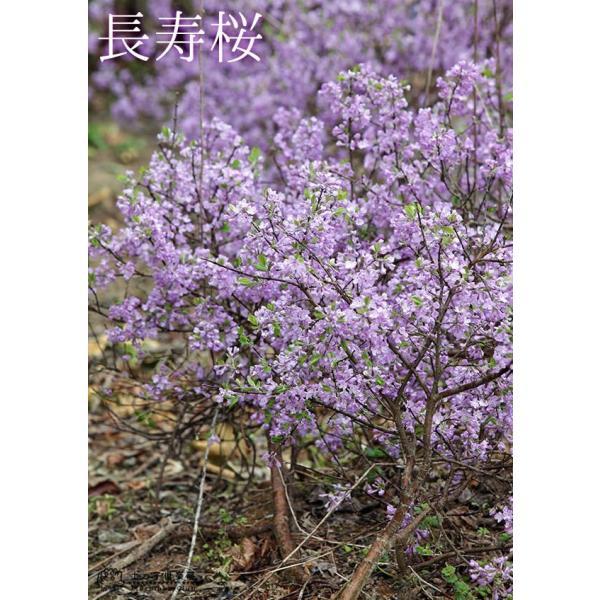 長寿桜 ( チョウジュザクラ ) 4号鉢植え(花芽付き) produce87 06