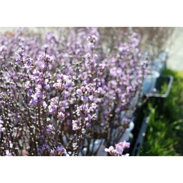 長寿桜 ( チョウジュザクラ ) 4号鉢植え(花芽付き) produce87 07