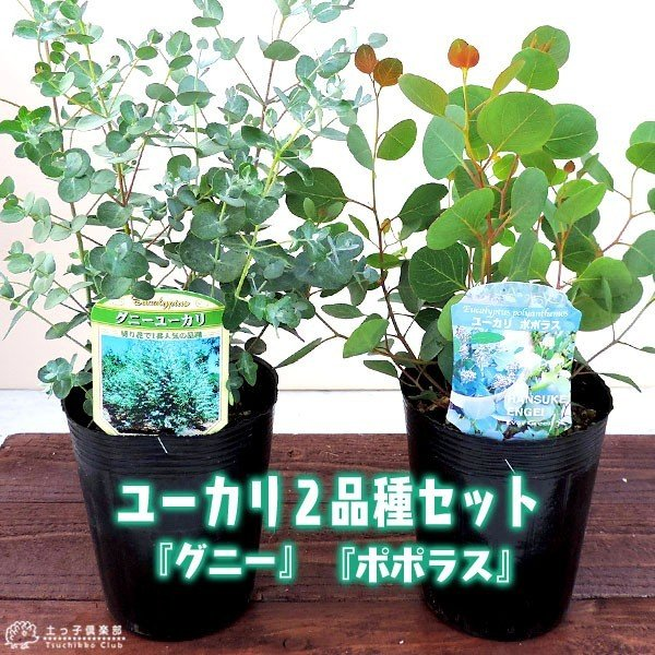 ユーカリ 2品種セット ( ポポラス & グニー ) 10.5cmポット苗|produce87