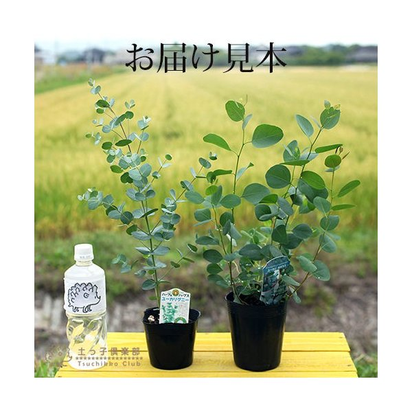 ユーカリ 2品種セット ( ポポラス & グニー ) 10.5cmポット苗|produce87|02