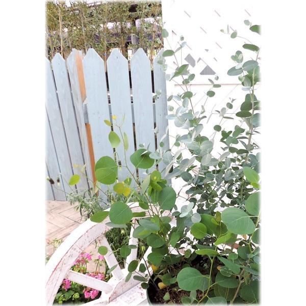 ユーカリ 2品種セット ( ポポラス & グニー ) 10.5cmポット苗|produce87|03