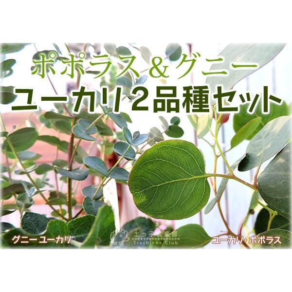 ユーカリ 2品種セット ( ポポラス & グニー ) 10.5cmポット苗|produce87|04