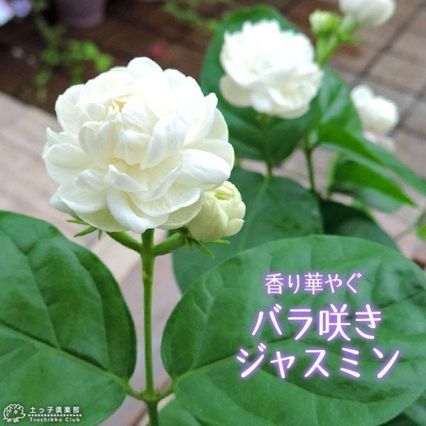 バラ咲き ジャスミン 9cmポット苗 ( 八重咲き / マツリカ / ピカケ / アラビアンジャスミン )|produce87