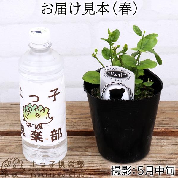 バラ咲き ジャスミン 9cmポット苗 ( 八重咲き / マツリカ / ピカケ / アラビアンジャスミン )|produce87|02