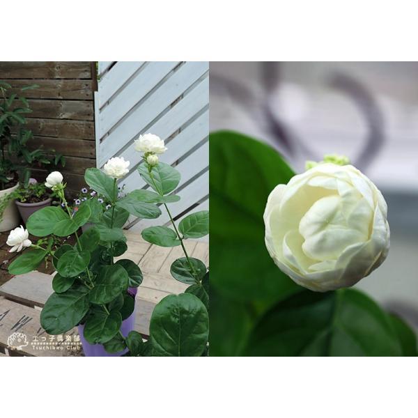 バラ咲き ジャスミン 9cmポット苗 ( 八重咲き / マツリカ / ピカケ / アラビアンジャスミン )|produce87|03