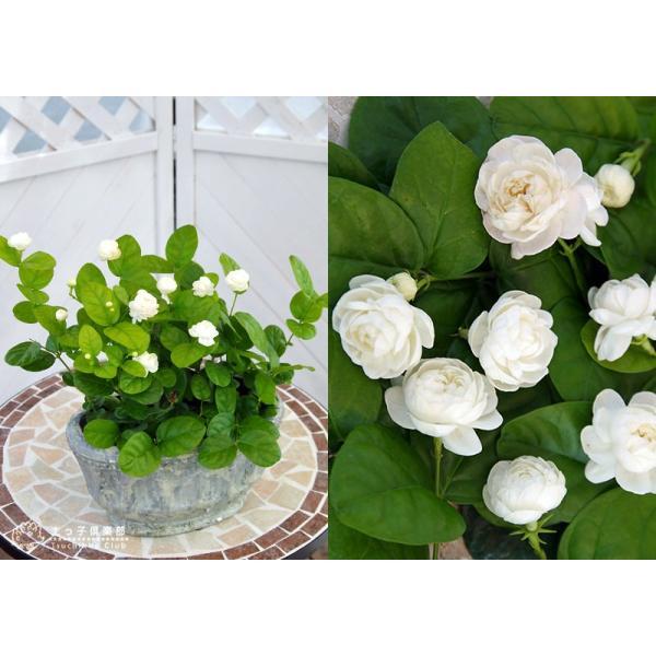 バラ咲き ジャスミン 9cmポット苗 ( 八重咲き / マツリカ / ピカケ / アラビアンジャスミン )|produce87|04