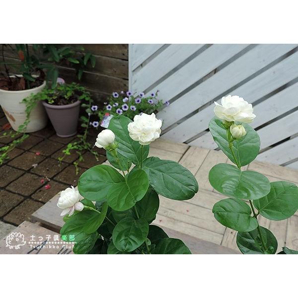 バラ咲き ジャスミン 9cmポット苗 ( 八重咲き / マツリカ / ピカケ / アラビアンジャスミン )|produce87|05