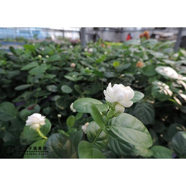 バラ咲き ジャスミン 9cmポット苗 ( 八重咲き / マツリカ / ピカケ / アラビアンジャスミン )|produce87|06