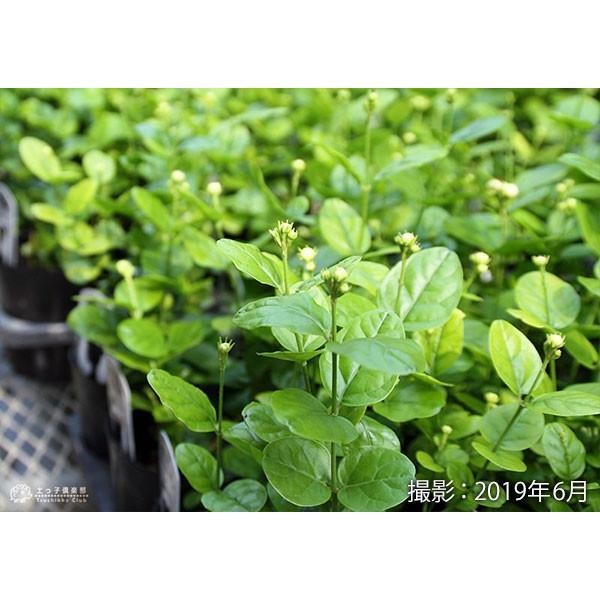 バラ咲き ジャスミン 9cmポット苗 ( 八重咲き / マツリカ / ピカケ / アラビアンジャスミン )|produce87|07