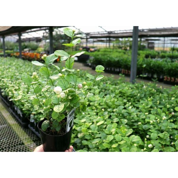 バラ咲き ジャスミン 9cmポット苗 ( 八重咲き / マツリカ / ピカケ / アラビアンジャスミン )|produce87|08