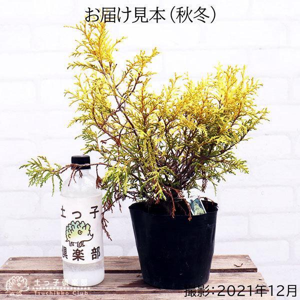 コニファー 『 フィリフェラオーレア 』 15cmポット苗 produce87 02