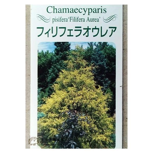 コニファー 『 フィリフェラオーレア 』 15cmポット苗 produce87 04