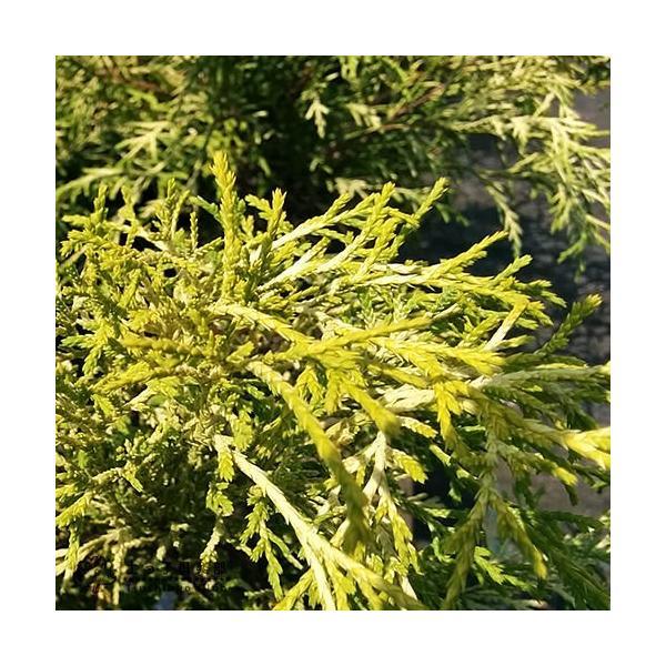 コニファー 『 フィリフェラオーレア 』 15cmポット苗 produce87 05