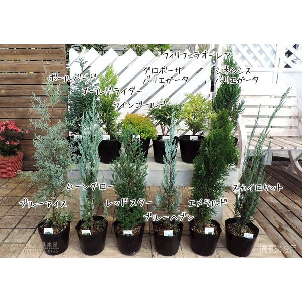 コニファー 『 フィリフェラオーレア 』 15cmポット苗 produce87 06
