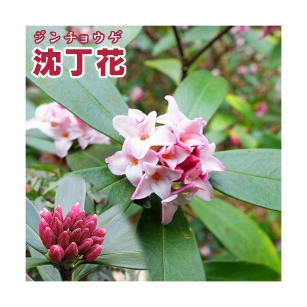 沈丁花 ( ジンチョウゲ ) 赤花 15cmポット苗 produce87