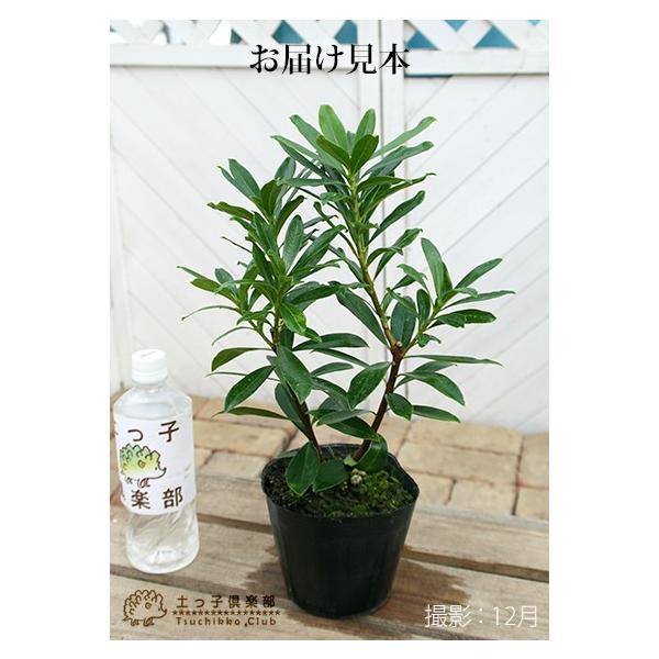 沈丁花 ( ジンチョウゲ ) 赤花 15cmポット苗 produce87 02