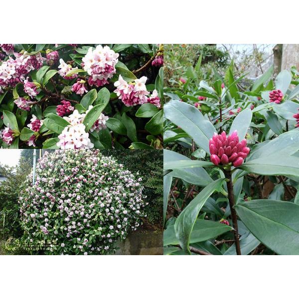 沈丁花 ( ジンチョウゲ ) 赤花 15cmポット苗 produce87 03