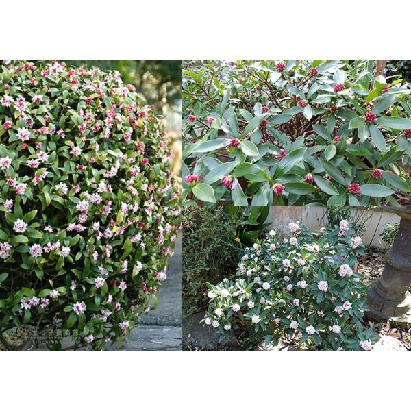 沈丁花 ( ジンチョウゲ ) 赤花 15cmポット苗 produce87 06