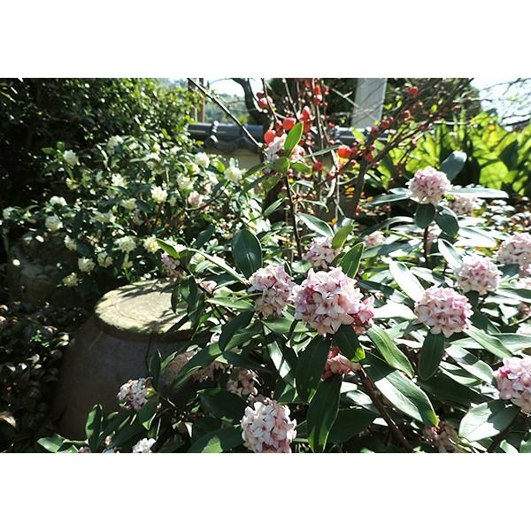 沈丁花 ( ジンチョウゲ ) 赤花 15cmポット苗 produce87 07
