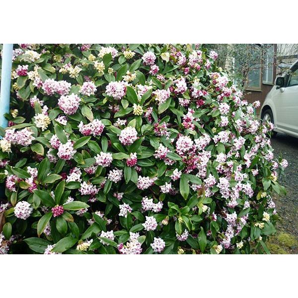 沈丁花 ( ジンチョウゲ ) 赤花 15cmポット苗 produce87 08