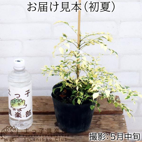 斑入り シマトネリコ 『 天の川 』 13.5cmポット苗木 ( 斑入り葉 )|produce87|02