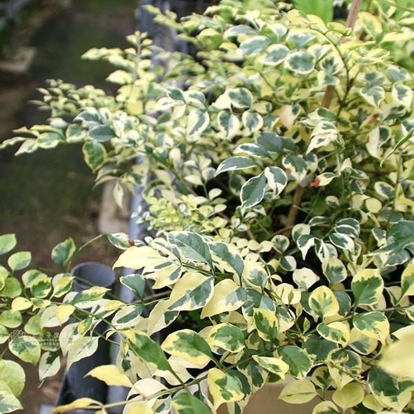 斑入り シマトネリコ 『 天の川 』 13.5cmポット苗木 ( 斑入り葉 )|produce87|04