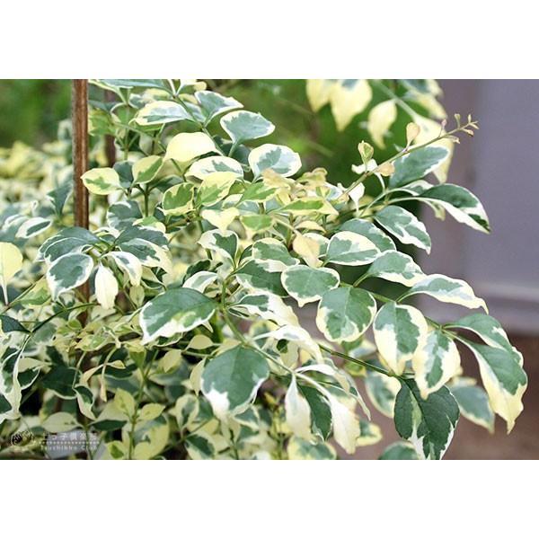 斑入り シマトネリコ 『 天の川 』 13.5cmポット苗木 ( 斑入り葉 )|produce87|05