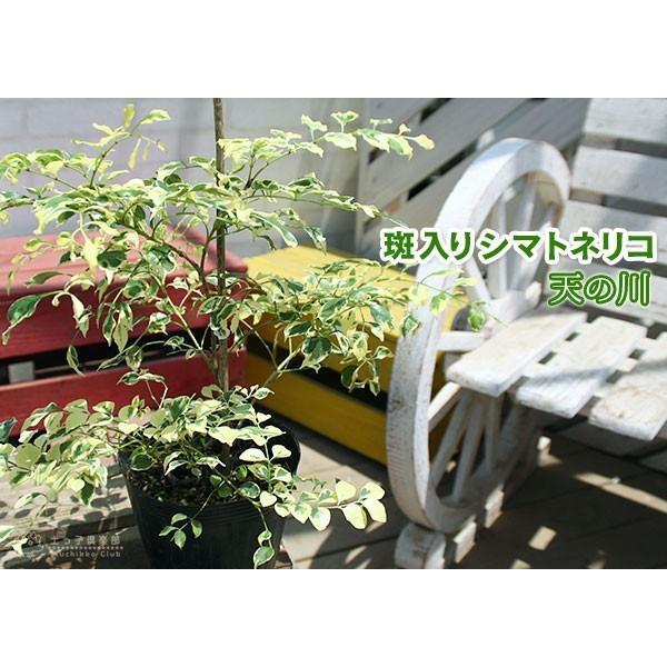 斑入り シマトネリコ 『 天の川 』 13.5cmポット苗木 ( 斑入り葉 )|produce87|06