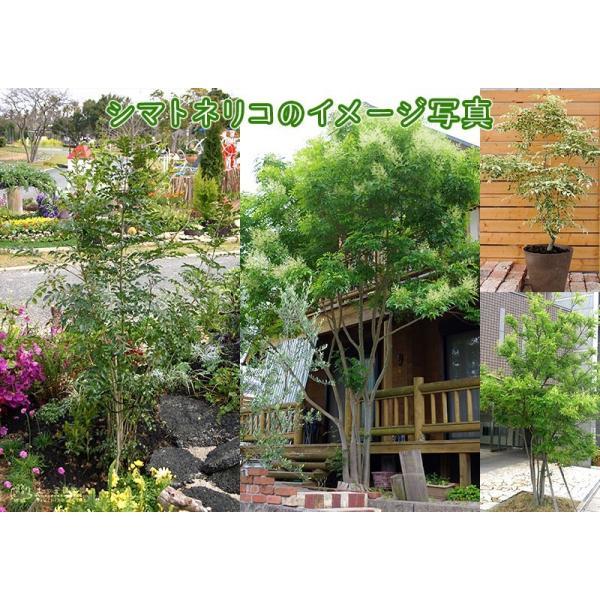 斑入り シマトネリコ 『 天の川 』 13.5cmポット苗木 ( 斑入り葉 )|produce87|08