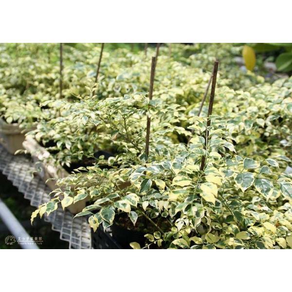 斑入り シマトネリコ 『 天の川 』 13.5cmポット苗木 ( 斑入り葉 )|produce87|09