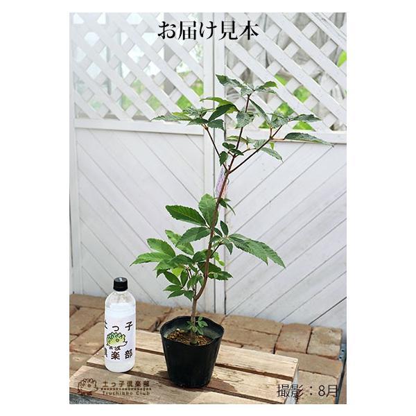 目薬の木 ( メグスリノキ ) 13.5cmポット 苗木 produce87 02