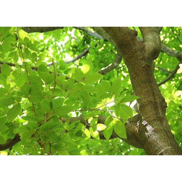 目薬の木 ( メグスリノキ ) 13.5cmポット 苗木 produce87 03