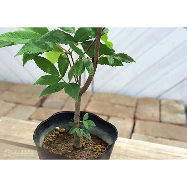 目薬の木 ( メグスリノキ ) 13.5cmポット 苗木 produce87 05