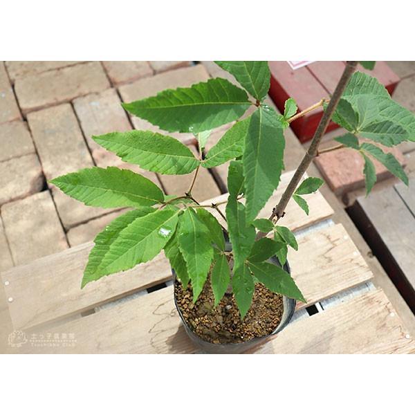 目薬の木 ( メグスリノキ ) 13.5cmポット 苗木 produce87 06