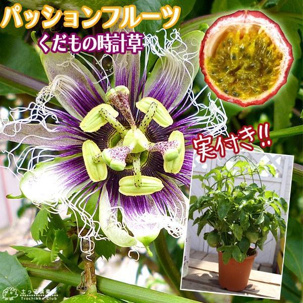 実付き パッションフルーツ『 くだもの時計草 』 5号鉢植え produce87