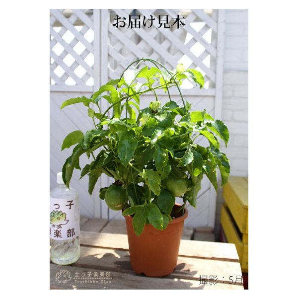 実付き パッションフルーツ『 くだもの時計草 』 5号鉢植え produce87 02