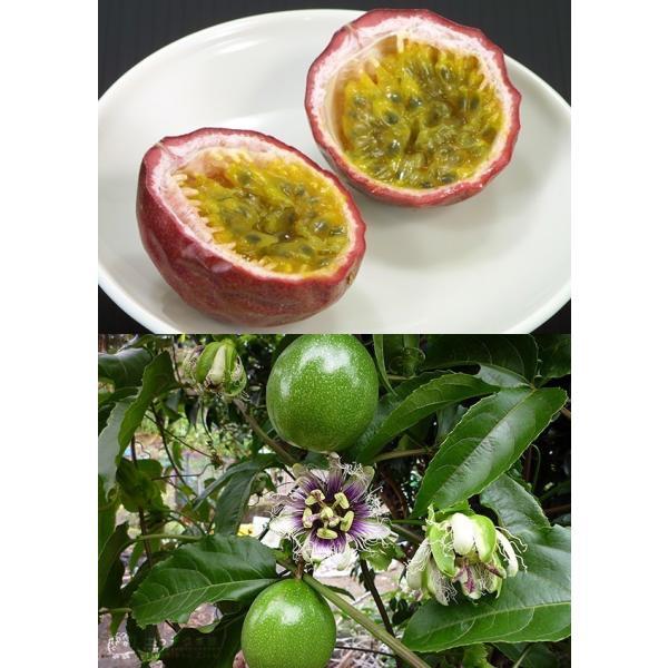 実付き パッションフルーツ『 くだもの時計草 』 5号鉢植え produce87 03