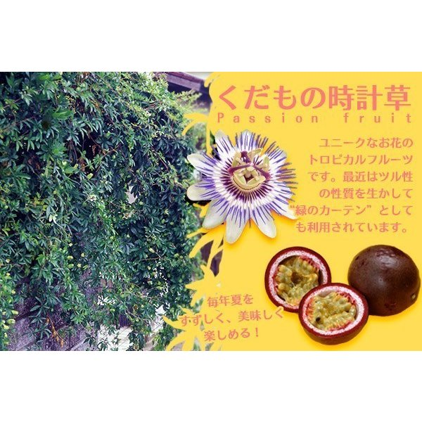 実付き パッションフルーツ『 くだもの時計草 』 5号鉢植え produce87 06