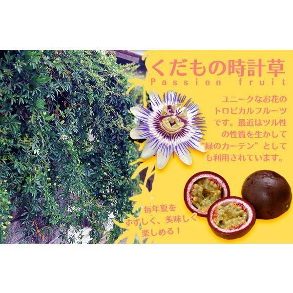 パッションフルーツ 『 くだもの時計草 』 10.5cmポット苗 2個組|produce87|06