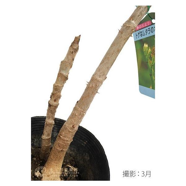 トゲなし「タラの芽の木」12cm(4号)ポット 2個セット 送料無料|produce87|04