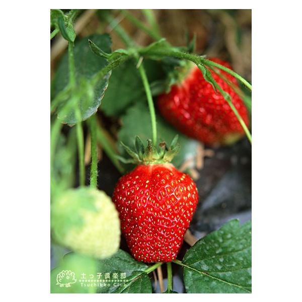 選べる品種 いちご苗 9cmポット苗 2個組 produce87 03