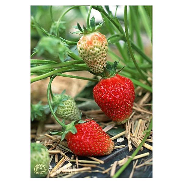 選べる品種 いちご苗 9cmポット苗 2個組 produce87 05