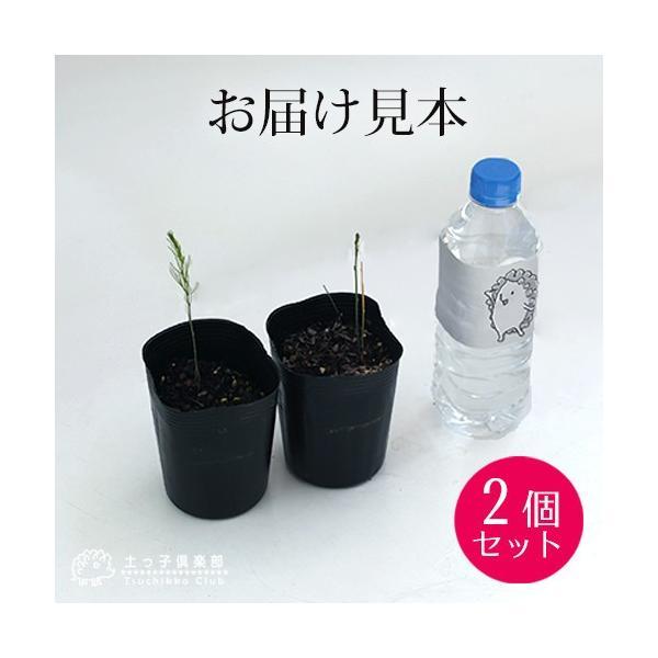 アスパラガス苗 9cmポット苗 2個組|produce87|02