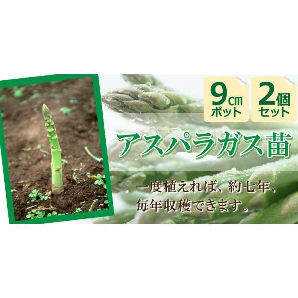アスパラガス苗 9cmポット苗 2個組|produce87|03