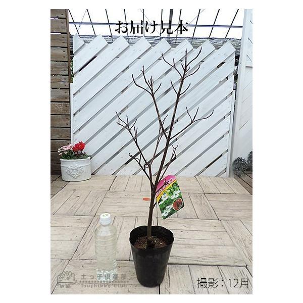 ハナミズキ 『 レインボー 』 13.5cmポット苗|produce87|02