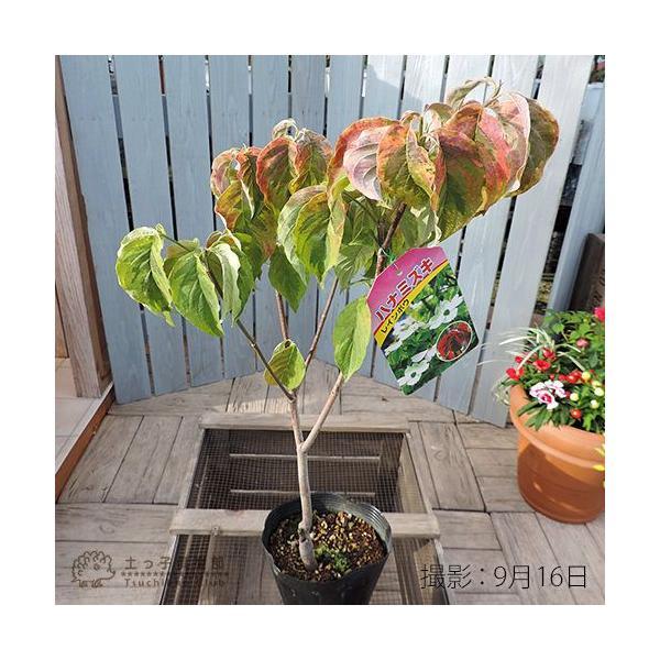 ハナミズキ 『 レインボー 』 13.5cmポット苗|produce87|04