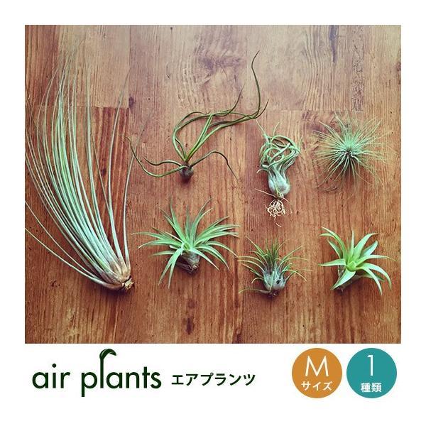 RoomClip商品情報 - エアプランツ Mサイズ 観葉植物 ミニ 植物 チランジア エアープランツ