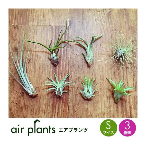 RoomClip商品情報 - 選べる3種 エアプランツ 観葉植物 Sサイズ  ミニ 植物 チランジア エアープランツ